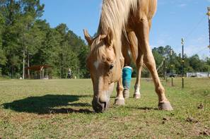 Honey, a palomino mare, grazing. Her hind leg is wrapped covering and a barbed wire wound.