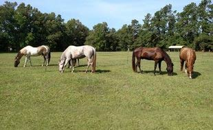 Four horses in our herd, Luna, Cody, Max and Penny, grazing in a sunny pasture.